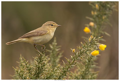 Chiffchaff On Gorse (Brian P Slade Photography) Tags: chiffchaff birds bird birdwatching uk ukwildlife ukbirds greenham crookham berkshire berkshirebirds wildlife wildlifephotography wild springwatch spring sigmasports sigma canon canonphotography naturephotography nature newbury gorse 150600mm 5d 5dmkiv brianpsladephotography brianpslade border animals mammals wildplant