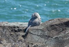 Snowy Owl I (ewan.osullivan) Tags: bird owl snowyowl buboscandiacus nahant lodgepark birdofprey
