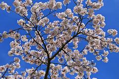 Cherry Blossom (Andy von der Wurm) Tags: kirschblüte cherryblossom baum tree nature flora bluesky blauerhimmel branch ast nordpark düsseldorf nrw nordrheinwestfalen northrhinewestfalia dusseldorf germany deutschland allemagne alemanie europa europe andyvonderwurm andreasfucke hobbyphotograph blossom sky