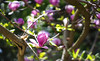 Aura. (Canad Adry) Tags: carl zeiss contax cy planar t 50mm f14 sony alpha a6000 vintage old classic manual lens bokeh flower fleur bubble nature garden spring jardin sun soleil