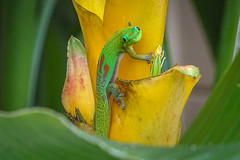 109/365 gold dust day gecko (marianneleis) Tags: 365the2018edition 3652018 day109365 19apr18