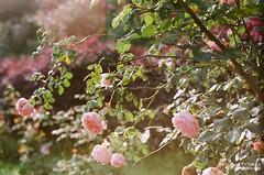 玫瑰紅被徑,薜荔綠走牆。 ([M!chael]) Tags: nikon f3hp nikkor 5014 ai fujifilm superia200 expired rose flower nature taiwan miaoli film manual