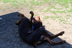 Rollin' (marymillbern) Tags: dog rolling rollover play doberman dogpark kansas happy spring leawoof leawood dogphotography