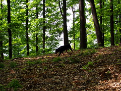 árnyas erdő / shady forest (debreczeniemoke) Tags: tavasz spring erdő forest fa tree kutya dog frakk erdélyikopó transylvanianhound olympusem5