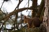 Squirrel (Cloudtail the Snow Leopard) Tags: eichhörnchen tier animal mammal säugetier sciurus vulgaris eichkätzchen eichkatz eichkater katteker nagetier red squirrel rodent zoo wilhelma stuttgart