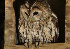 Tawny owls (Kevin Keatley1) Tags: owls tawnyowls tawnyowl devon devonwildlife wildlife wildlifephotography naturephotography wildlifewatchingsupplies nestbox westcountrywildlife owlphotos owlphotography nikon nightphotography birds nocturnalwildlife kevinkeatley wildlifephotographycouk kevinswestcountrywildlife