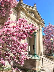(Cjin99) Tags: providence rhodeisland unitedstates us ri spring magnolia flower brownuniversity architecture beauxarts shepleyrutanandcoolidge johncarterbrownlibrary collegehill