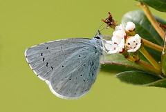 Holly Blue (Celastrina argiolus) (festoon1) Tags: butterfly hollyblue celastrinaargiolus lincolnshire lepidoptera