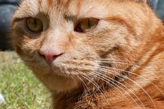 In the Sun (Evoljo) Tags: cat sun sunshine puss dougal ginger eyes whiskers grass nikon d500