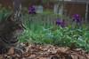 Camille profile with purple irises (rootcrop54) Tags: camille tabby female flower garden striped stripes neko macska kedi 猫 kočka kissa γάτα köttur kucing gatto 고양이 kaķis katė katt katze katzen kot кошка mačka gatos maček kitteh chat ネコ