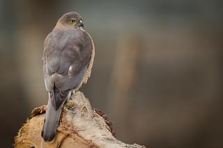 Shikra | Accipiter badius
