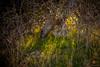 _DSC8082 (andrewlorenzlong) Tags: joshua tree national park joshuatree joshuatreepark joshuatreenationalpark california desert black rock canyon blackrockcanyon