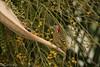 carpintero de La Española / Hispaniolan Woodpecker   (Melanerpes striatus) (Gogolac) Tags: 2018 aves birdphotography birdie birds canon7dmii fauna hispaniolanwoodpecker location melanerpesstriatus year birdspot birdingrd birdsspotters carpinterodelaespañola republicadominicana