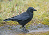 Carrion Crow The Lodge RSPB, Sandy 29-03-2018-5006 (seandarcy2) Tags: corvid carrion crow birds wildlife beds uk sandy