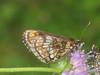 Melitaea athalia - Heath fritillary - Шашечница аталия (Cossus) Tags: mellicta nymphalidae nymphalinae шашечница 2008 ашо melitaea fritillary
