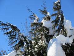 Snow in the branches (jamica1) Tags: tree branch snow sky blue winter kelowna okanagan bc british columbia canada