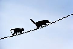 smeđi kapucin (Sapajus apella / Brown Capuchin / Haubenkapuzineraffe) & nosati rakun (Nasua nasua / South American Coati / Nasenbär) (Hrvoje Šašek) Tags: nosatirakun southamericancoati nasenbär nasuanasua sisavac mammal životinja animal priroda park maksimir perivoj zagreb croatia zoo zagrebzoo zoološkivrtgradazagreba zoologicalgardenofzagreb zoološkivrt zoologicalgarden d3300 55300 55300mm hrvatska nature smeđikapucin browncapuchin haubenkapuzineraffe sapajusapella primat primate parkmaksimir portret portrait croazia kroatien siluete silueta silhouette silhouettes counterlight kontrasvjetlo negativespace crazytuesdaytheme 7dwf