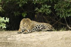 Brazil. (richard.mcmanus.) Tags: brazil southamerica bigcat pantanal jaguar mammal rainforest mcmanus