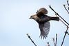In Flight (RGaenssler) Tags: floraundfauna braunellenfamilie sperlingsvögel braunellengattung wirbeltiere vögel tiere singvögel dunnock heckenbraunelle aves passeri passeriformes prunellidae prunella prunellamodularis accenteurmouchet