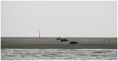 Seals on Galgeplaat (LeonardoDaQuirm) Tags: seals oosterschelde brabantsevaarwater