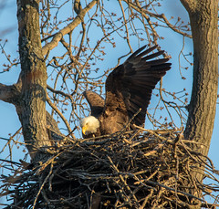 A little nest activity.... (Kevin Povenz Thanks for all the views and comments) Tags: 2018 april kevinpovenz westmichigan michigan ottawa ottawacounty ottawacountyparks grandravinesnorth nest baldeagle early eagle bird birdsofprey nature wildlife outside outdoors canon7dmarkii sigma150500