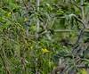 20180407-0I7A9348 (siddharthx) Tags: achampet bird birdwatching birdsofindia birdsoftelangana canon canon7dmkii closerange dawn dawnsunriseumamaheshwaram ef100400f4556isii goldenhour portraiture sunrise telangana umamaheshwaramtemple umamaheshwaram india in whitebrowedbulbul bulbul nature nallamallaforest ef100400mmf4556lisiiusm tree wood animal