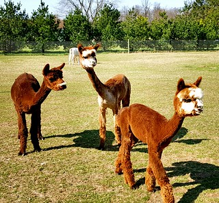 Young alpacas in the spring after shearing day