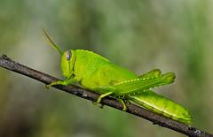 Radioactiva (Chusmaki) Tags: macro langosta verde radioactividad insectos