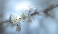 Spring (Dhina A) Tags: sony a7rii ilce7rm2 a7r2 minolta md zoom 3570mm f35 minoltamdzoom3570mmf35 1983 14 macro sharp bokeh constantf35 modified f28 spring flower bloom cherry plum blossom