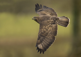 Buzzard - Not all wildlife read the rules