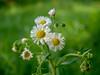 春紫苑 (ueda_yoshitaka) Tags: 白 ピンク キク科 ハルジオン 春 草花 春紫苑