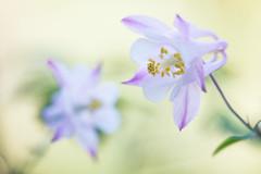 columbine 3477 (junjiaoyama) Tags: japan flower plant purple columbine spring macro