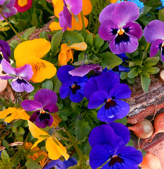 It's spring, Flowers, pansy (lucianomandolina) Tags: pflanze blume blüte schön plant flower bloom beautiful sexy erotic blüten zweig knospe flowers