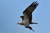 Yellow Eye/Blue Sky. (stonefaction) Tags: osprey birds nature wildlife eden estuary fife guardbridge scotland
