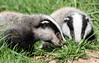 9Q6A0053 (2) (Alinbidford) Tags: alancurtis alinbidford badgercubs brandonmarsh nature wildlife