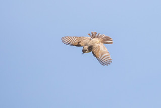 Bug Hawk