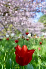 Spring in Kew Gardens, London - 2018 (Sandrine Vivès-Rotger photography) Tags: england kew kewgardens gardens spring tulip red flowers depthoffield nature londres london uk garden green grass tree