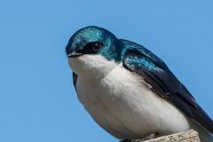Clarke_180422_6443.jpg (www.raincoastphoto.com) Tags: treeswallow birds swallowsswiftsandnighthawks tachycinetabicolor birdsofcanada birdsofnorthamerica birdsofbritishcolumbia britishcolumbia canada