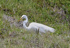 04-27-18-0014872 (Lake Worth) Tags: animal animals bird birds birdwatcher everglades southflorida feathers florida nature outdoor outdoors waterbirds wetlands wildlife wings