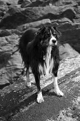 Monochrome Dash (JB by the Sea) Tags: sanfrancisco california april2018 fortfunston dog australianshepherd aussieshepherd aussie dash blackandwhite bw