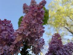 2018-04-19-13903 (vale 83) Tags: lilac nokia n8 coloursplosion colourartaward