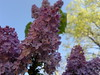 2018-04-19-13903 (vale 83) Tags: lilac nokia n8 coloursplosion colourartaward