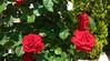 IMG_20180428 - rose a maggio (molovate) Tags: fiore rosa rosso giardino svezia tafme 12 volate villa villetta aiola maggio casa mia xiaomi redmi note3