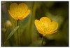 Les boutons d'or (Jean-Marie Lison) Tags: eos80d sigma105mm fleurs boutondor jaune macro bruxelles anderlecht parcastrid