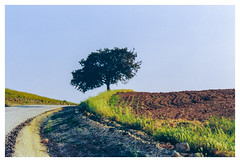 My tree [1365] (my-travels (hurt shoulder..not able to comment)) Tags: film fe10 nikon slr camera tree trees road eskisehir eskişehir landscape nature roadside curve bend field turkey