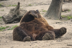 It's been a hard days work ..... (eric zijn fotoos) Tags: holland sonyrx103 beer nature natuur animal dier lui lazy bear nederland noordholland