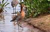 Alert Black tailed godwit. (Explored). (spw6156 - Over 6,560,030 Views) Tags: alert black tailed godwit in breeding plumage copyright steve waterhouse explored