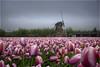 2018_04_30(12) (BasHandels) Tags: tulips depthoffield blur focus netherlands dutch mill amsterdam tulpen