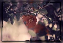 faded purple (pilaraf14) Tags: gimp rawtherapee flor flower granado pomegranade punicagranatum pdc dof