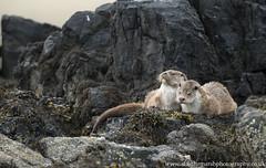 Otters (Alastair Marsh Photography) Tags: otter otters ottercub ottercubs otterfamily mammal mammals mammalsociety britishwildlife britishanimals britishanimal britishmammals britishmammal animal animals animalsintheirlandscape wildlife shetland shetlandislands shetlands island islands unst coastline coast